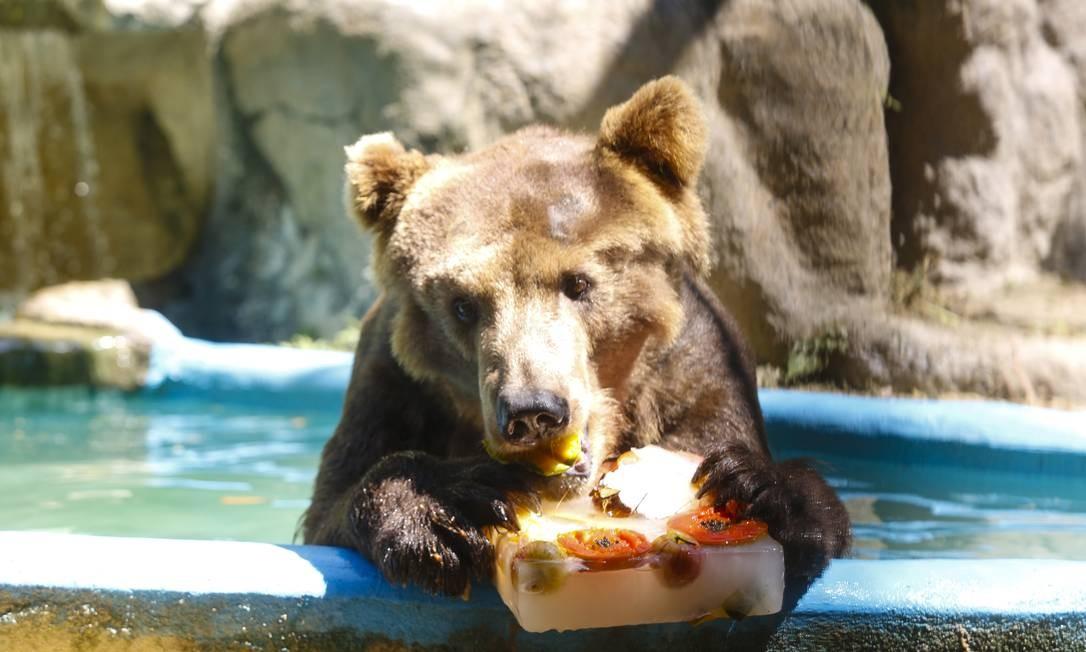 Urso Zé Colmeia saboreia seu sorvete de frutas na tarde desta terça-feira, no Zoológico do Rio Foto: Marcos Ramos / Agência O Globo