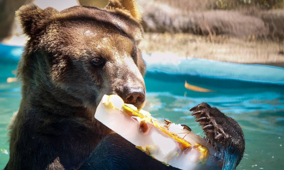 No Rio Zoo, o urso Zé Colmeia aproveita cada pedaço de seu picolé: ele sabe que não é todo dia que surge esta oportunidade Foto: Marcos Ramos