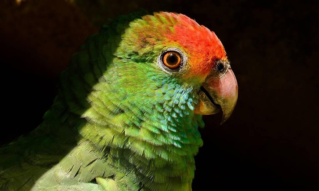 Papagaio-chauá Foto: João Rafael Marins