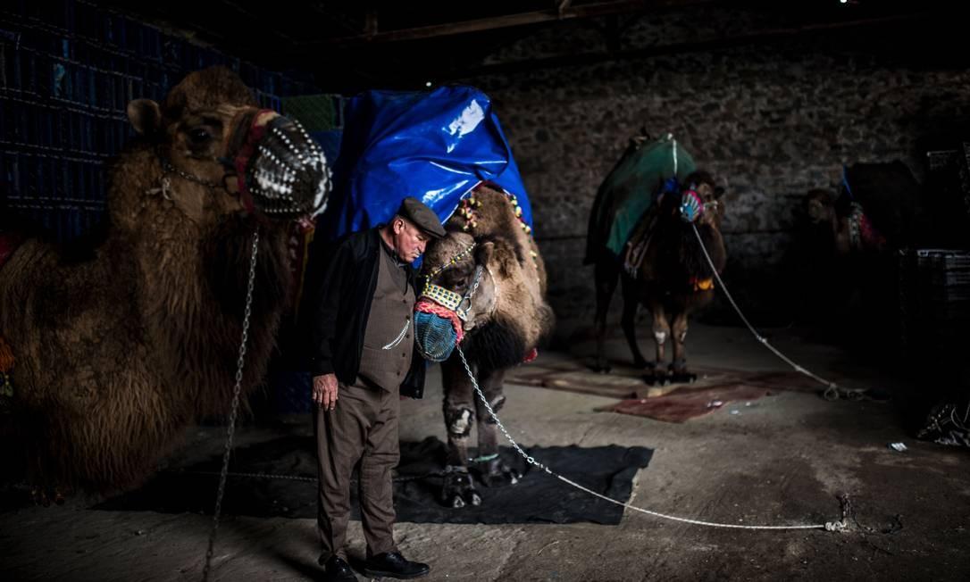 Homem de 60 anos cuida de seu camelo para o próximo combate. Na arena de luta deste ano, 124 camelos lutaram entre si em duelos curtos, parte de uma tradição turca secular Foto: BULENT KILIC / AFP