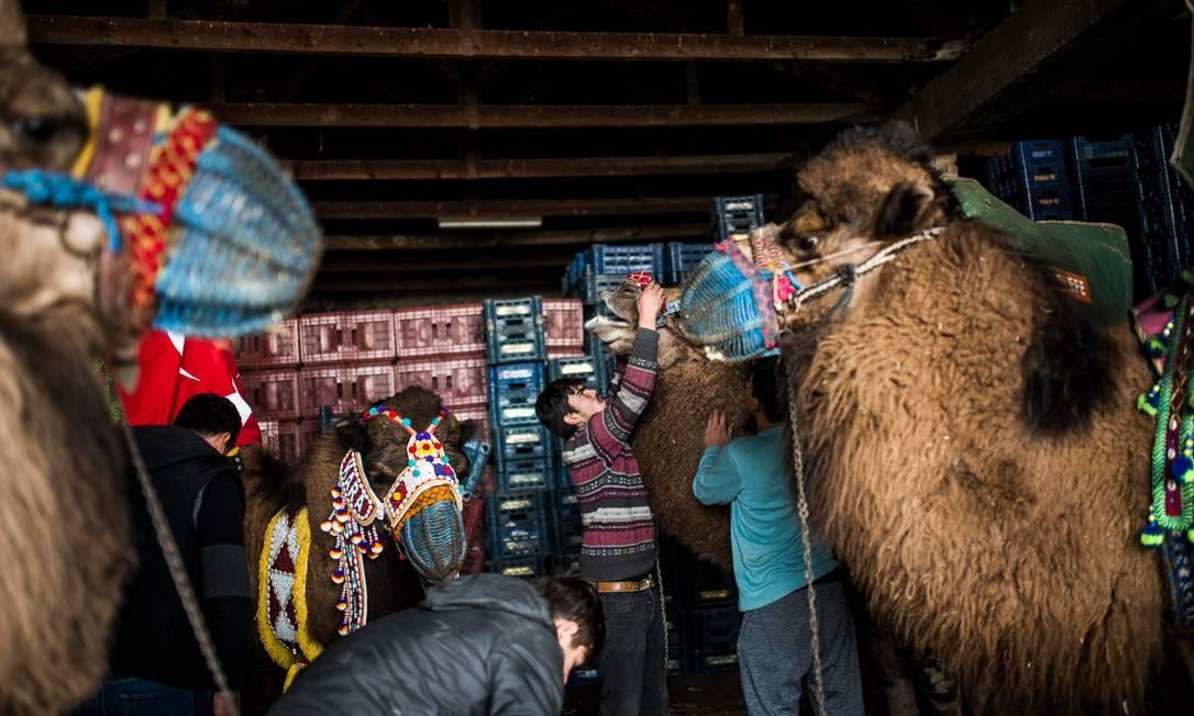 Donos de camelos preparam seus camelos para o festival Foto: BULENT KILIC / AFP