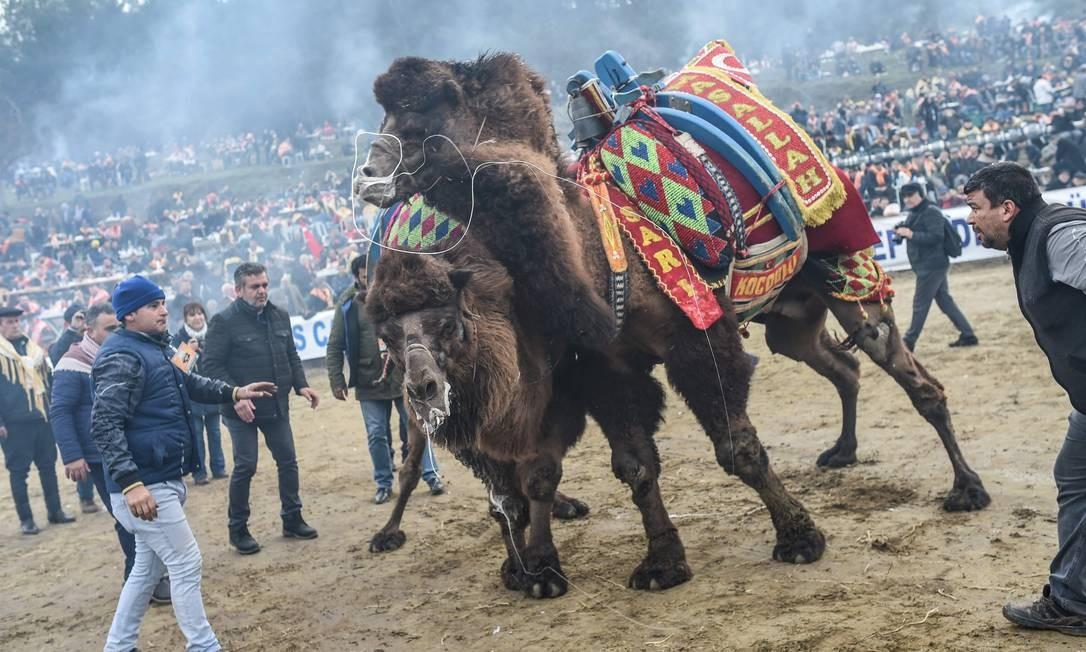 Camelos lutando na arena do festival para o concurso de luta Foto: BULENT KILIC / AFP