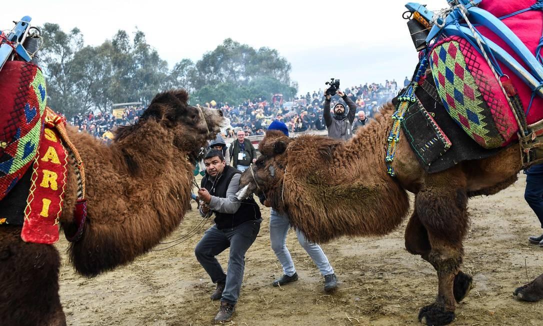 Pessoas tentam empurrar camelos para lutar durante o Selcuk Camel Wrestling Festival, na Turquia. O festival Selcuk é realizado todos os anos no terceiro fim de semana de janeiro Foto: BULENT KILIC / AFP