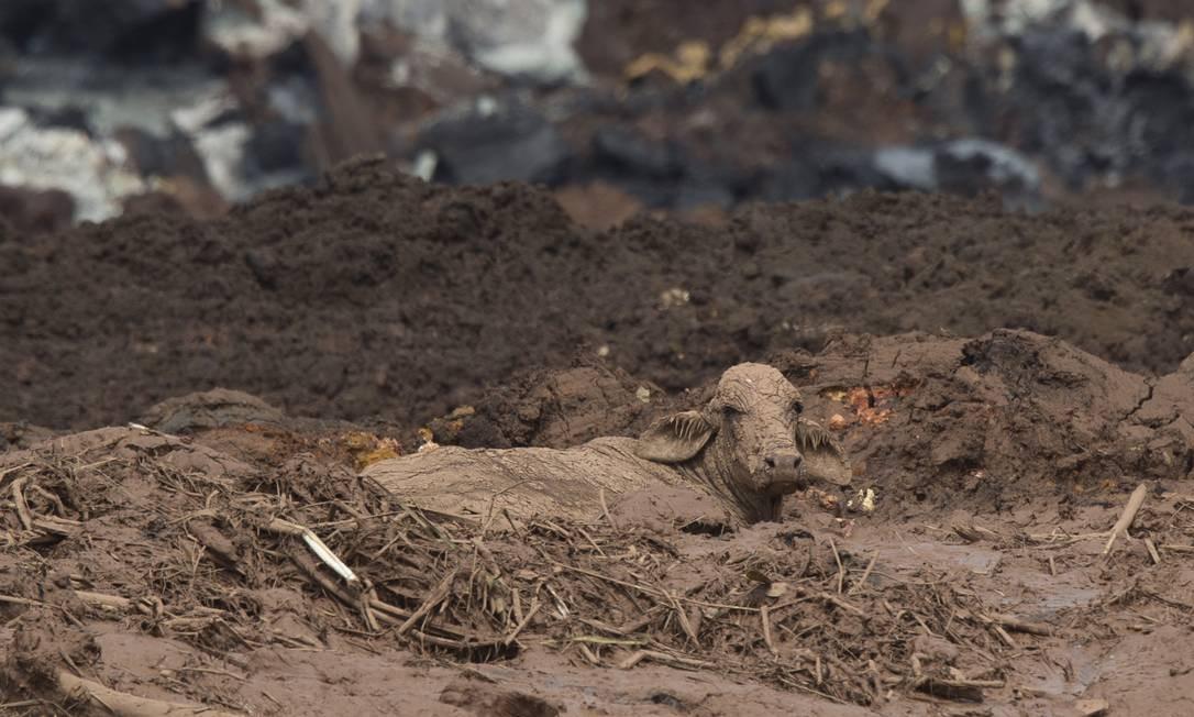 Vaca presa na lama no distrito de Córrego do Feijão. Foto: Márcia Foletto / Agência O Globo
