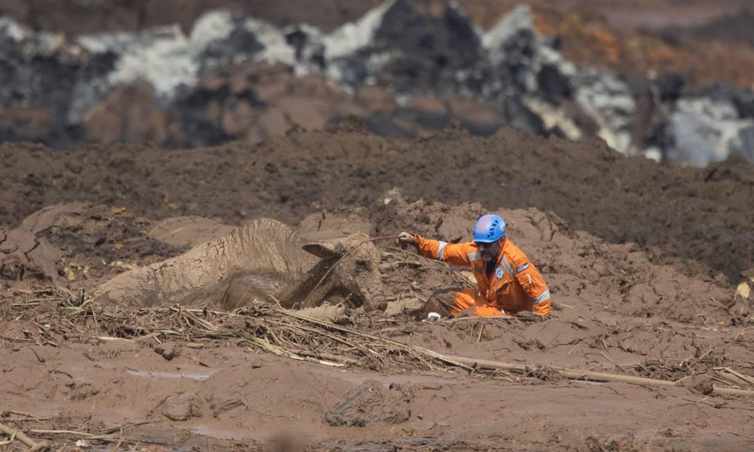 Os animais estão em sofrimento, sem água e comida desde o rompimento da barragem da Vale Foto: Márcia Foletto / Agência O Globo