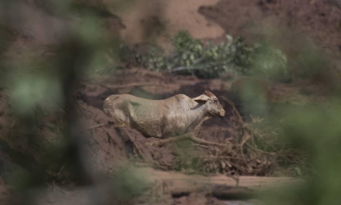 Segundo os moradores da região, há enorme quantidade de animais presos na lama, entre vacas, cães e capivaras Foto: Márcia Foletto / Agência O Globo