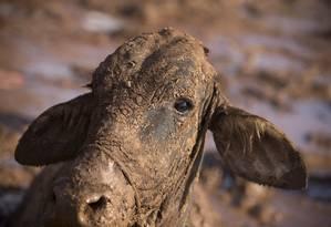 Vaca atolada na lama em Córrego do Feijão não pode ser resgatada e é sacrificada Foto: Márcia Foletto / Agência O Globo