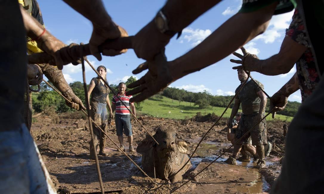 Voluntários tentaram, em vão, salvar vaca atolada na lama de rejeitos no Córrego do Feijão, em Brumadinho. O animal acabou sacrificado por veterinários, colocando fim a uma agonia de dois dias Foto: Márcia Foletto / Agência O Globo