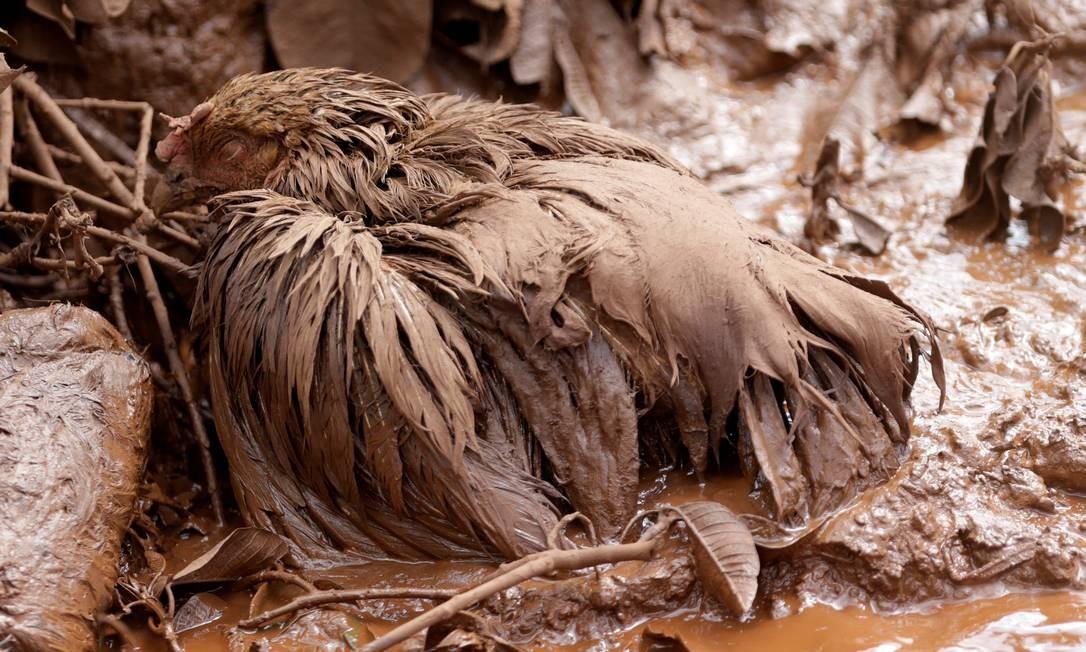 Além das perdas humanas, uma quantidade inestimável de animais domésticos e silvestres não pôde escapar da tragédia. Na foto, uma galinha jaz camuflada no ambiente tomado pela lama de rejeitos ADRIANO MACHADO / REUTERS