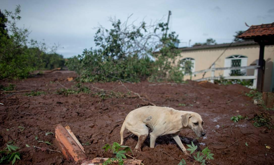 Muitos cães vagam pelo Córrego do Feijão em busca dos donos, falecidos ou desaparecidos após o rompimento da barragem da Vale MAURO PIMENTEL / AFP