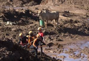 Voluntários mantêm vivo novilho preso na lama com água e feno Foto: Márcia Foletto / Agência O Globo