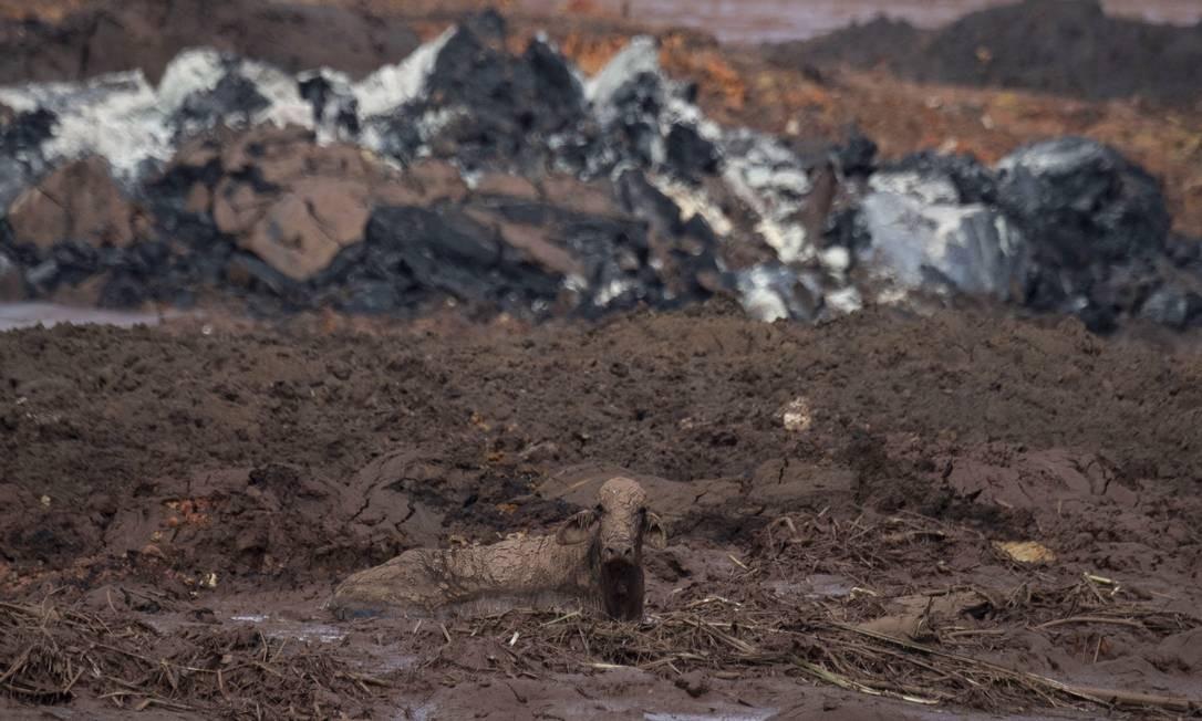 Uma vaca aparece presa nas lamas que tomaram conta da comunidade de Casa Grande, dois dias após o rompimento da barragem da Vale Foto: Mauro Pimentel / AFP
