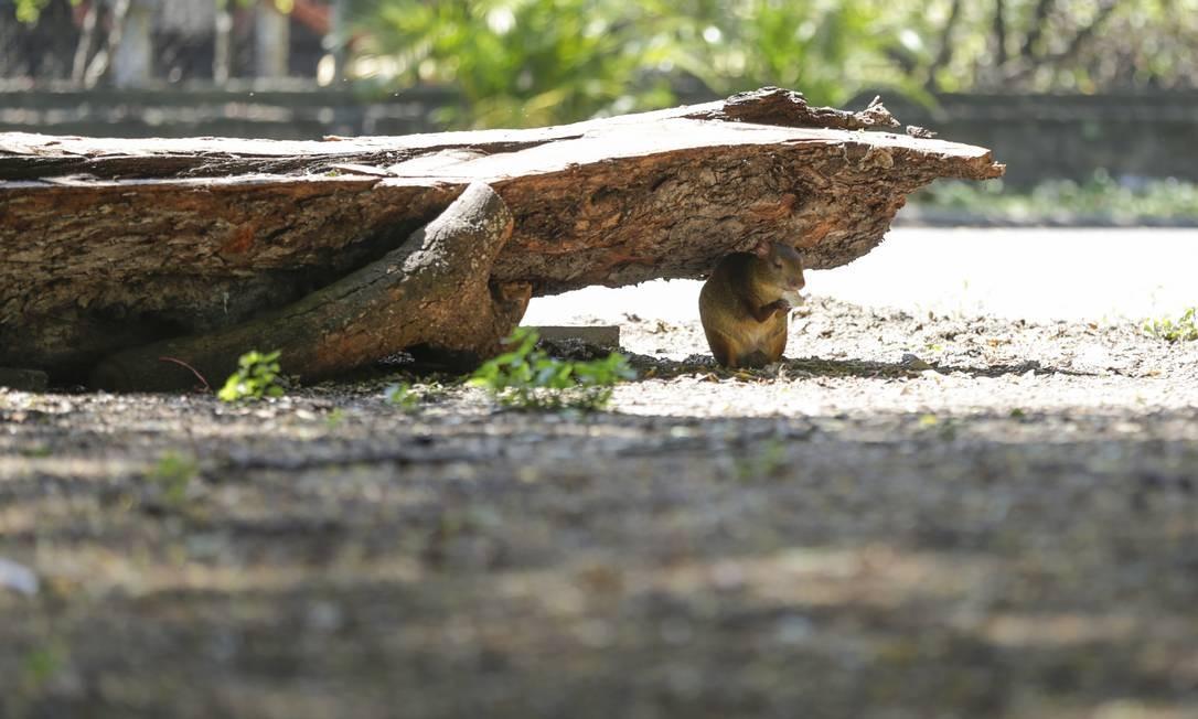 A pequena cotia se alimenta enquanto se abriga em uma sombra projetada por um tronco de árvore no Campo de Santana. Foto: Gabriel de Paiva / Agência O Globo