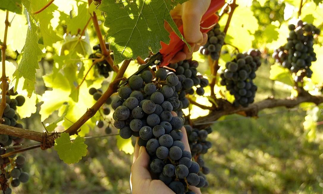 A vindima, como é chamada a época da colheita da uva, é repleta de programações especiais nas vinícolas do Vale dos Vinhedos, na Serra Gaúcha Foto: Divulgação