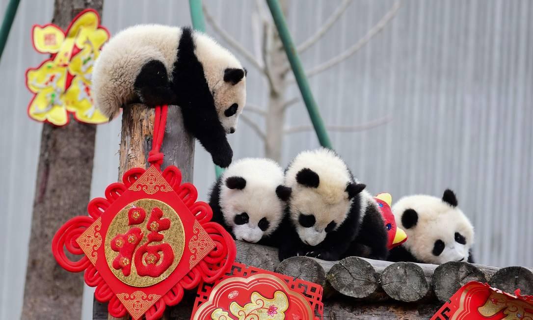A reserva natural de Wolong apresenta para o público, onze Pandas que nasceram em 2018. O ambiente de apresentação foi decorado para marcar o próximo Ano Novo Lunar do Porco, que começa em 5 de fevereiro Foto: STR / AFP
