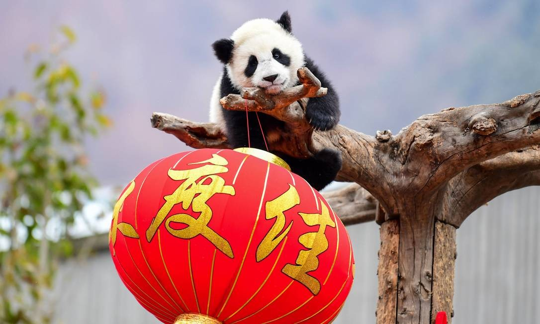 Travesso, um Panda da reserva natural de Wolong brinca em cima de um tronco Foto: STR / AFP