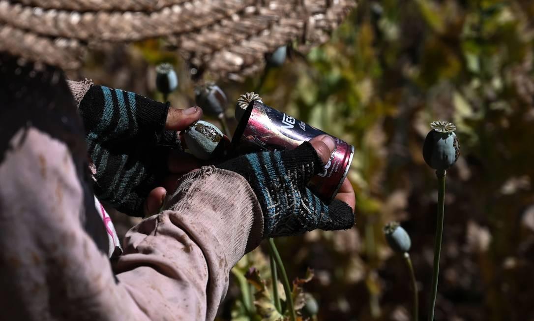 Com pequenos cortes, o fazendeiro retira das papoulas a substância para fazer o ópio Foto: YE AUNG THU / AFP