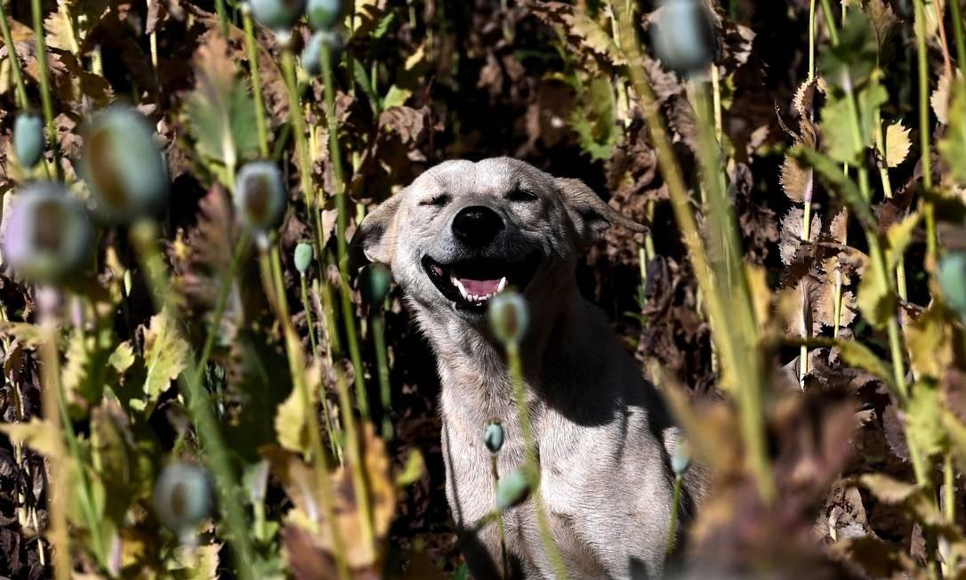 Um cão de guarda ajuda agricultores a vigiar a plantação de ópio em uma fazenda de Mianmar Foto: YE AUNG THU / AFP