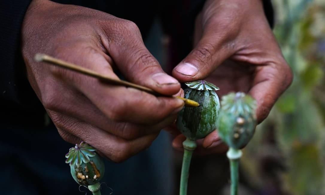 Os campos de Mianmar se estendem pelas pastagens e picos do leste montanhoso do país. Muitos agricultores relutam em abandonar a lucrativa colheita, apesar dos incentivos oferecidos pelo governo para pôr fim a esse tipo de cultivo Foto: YE AUNG THU / AFP