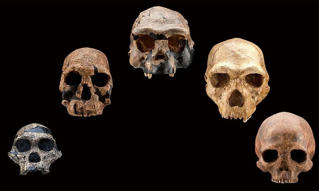 Crânios fossilizados de diferentes estágios da evolução humana Foto: Smithsonian Institution