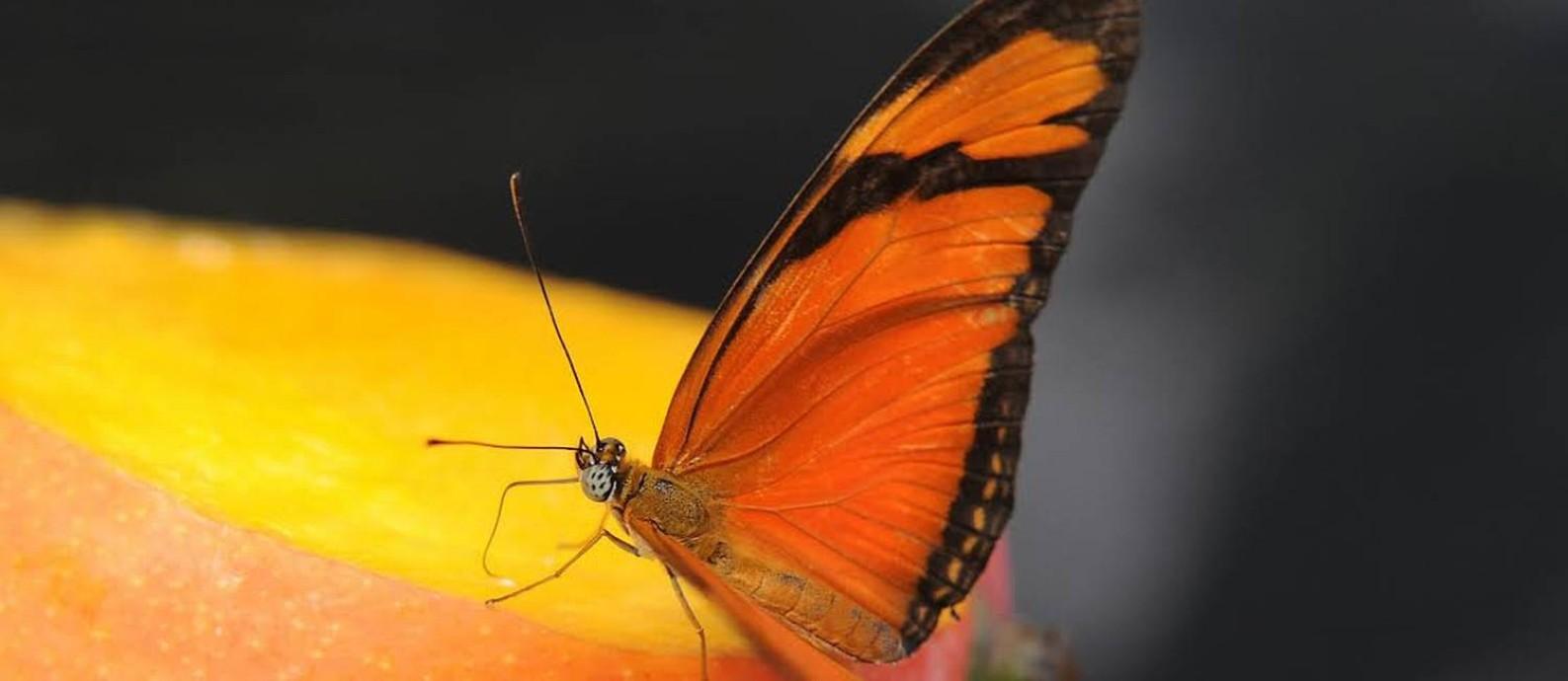 Somente na Inglaterra, por exemplo, o número de borboletas diminuiu 58% em terras cultivadas entre 2000 e 2009 Foto: Divulgação