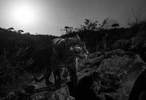 Leopardo negro foi registrado por Will Burrard-Lucas Foto: Burrard-Lucas Photography/Camtraptions