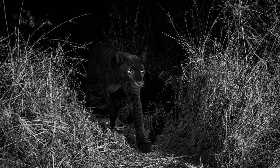Orientado por moradores locais, que indicaram a região onde já tinham visto o animal, Burrard-Lucas conseguiu registrar as imagens usando uma câmera que era acionada por sensores de movimento sem fio Foto: Burrard-Lucas / Photography