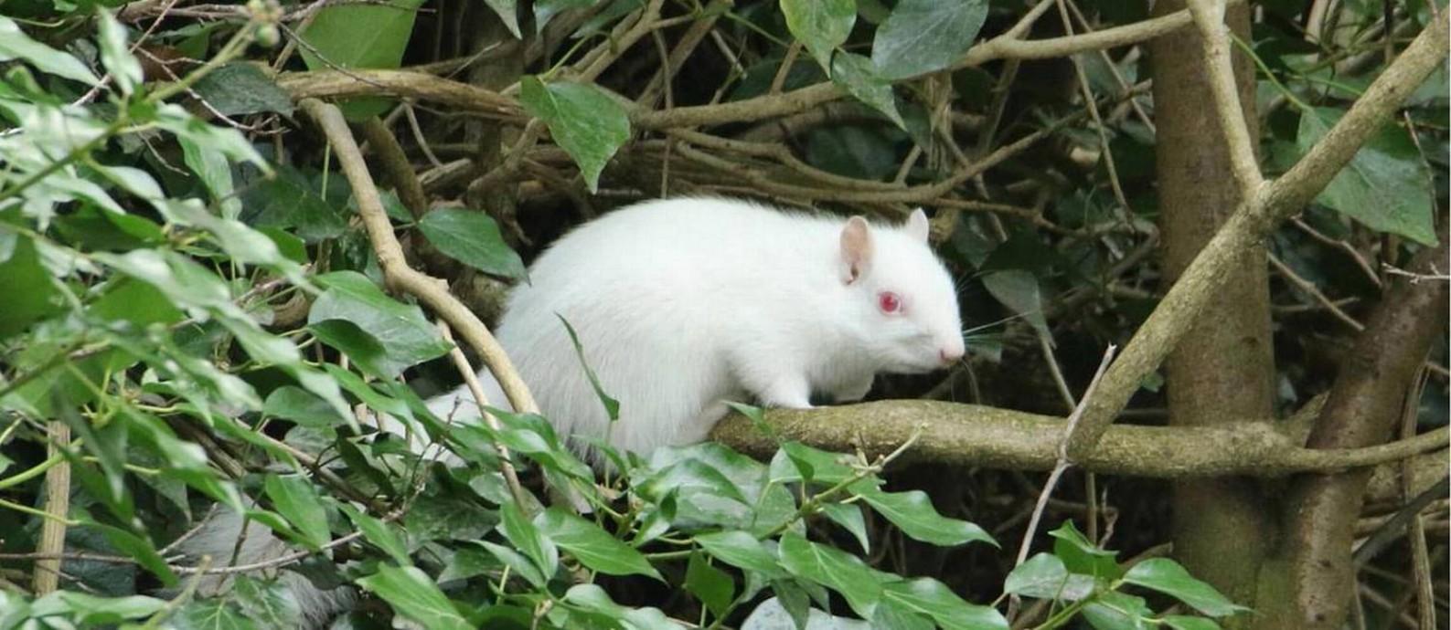 Raro esquilo albino foi avistado por fotógrafo amador às margens de canal no interior da Inglaterra: estima-se que apenas cerca de 50 animais do tipo vivam no Reino Unido Foto: Stephen Plant