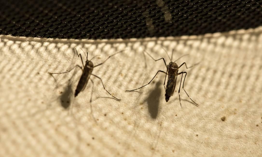 Mosquito Aedes aegypti é vetor de doenças graves, como dengue, chicungunha e zika. Foto: Brenno Carvalho / Agência O Globo