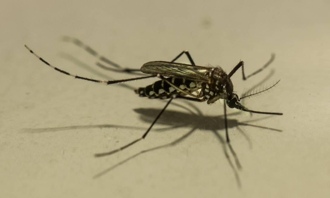 Exemplar do mosquito Aedes aegypti, transmissor de doenças como dengue, zika e chicungunha que estão avançando na Venezuela devido à crise humanitária no país Foto: Brenno Carvalho/23-11-2018