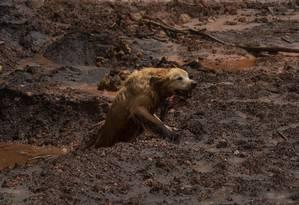 Thor é um dos cães que ajudam os Bombeiros nas buscas em Brumadinho Foto: Alexandre Cassiano / Agência O Globo