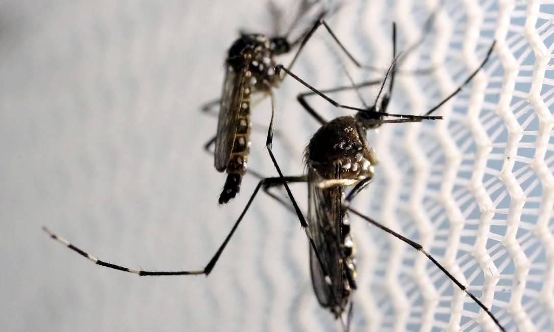 O 'Aedes aegypti' é o mosquito transmissor da dengue, zika e chicungunha Foto: PAULO WHITAKER / Reuters