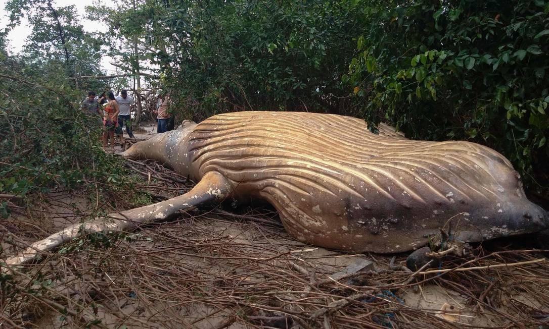 Foto divulgada pelo Instituto Bicho D'Água mostra uma baleia jubarte encontrada morta em meio à vegetação da praia de Araruna, na Ilha de Marajó, Pará, no norte do Brasil Foto: HO / AFP