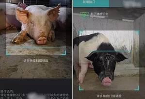 Fotos fornecidas por empresas chinesas de tecnologia de reconhecimento facial de porcos em fazendas de criação Foto: Divulgação/NYT
