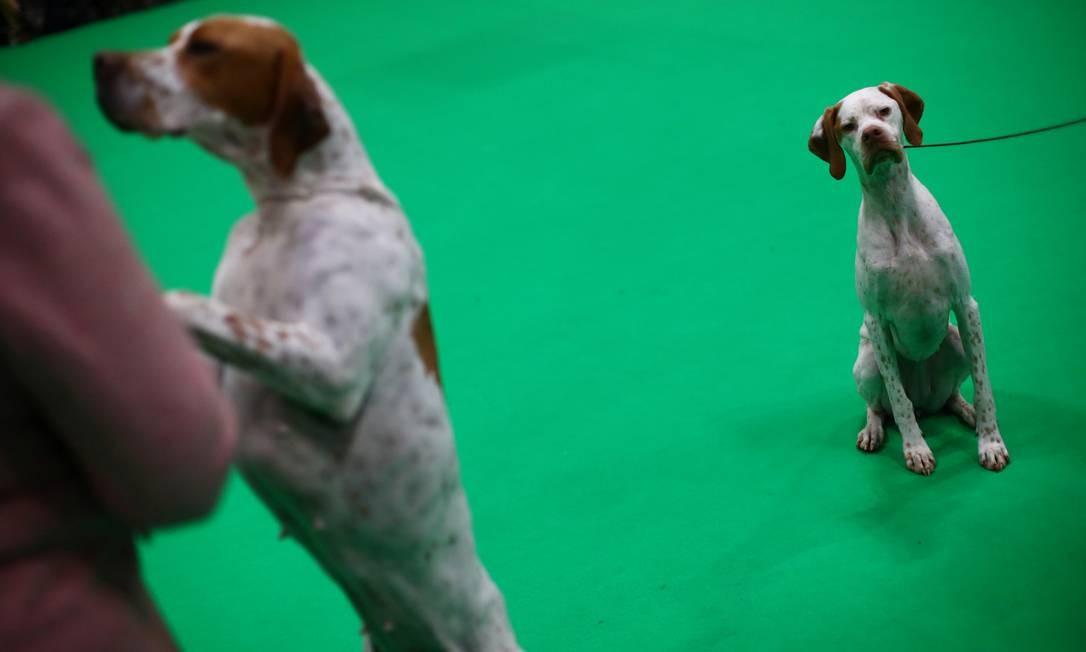 Cães da raça pointer posicionados para avaliação do júri, no primeiro dia do Crufts Dog Show Foto: Hannah McKay / REUTERS