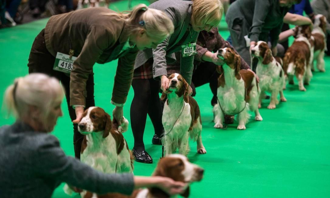 Cães da raça springer spaniel são apresentados ao júri no primeiro dia do Crufts Dog Show, no Centro Nacional de Exibições, em Birmingham, na Inglaterra Foto: OLI SCARFF / AFP