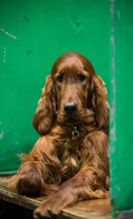 Um setter irlandês aguarda momento de sua apresentação no Crufts Dog Show Foto: OLI SCARFF / AFP
