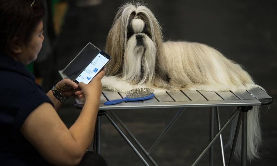 Uma mulher cuida do seu cachorro shih tzu depois de participar da competição Eukanuba World Challenge Foto: OLI SCARFF / AFP