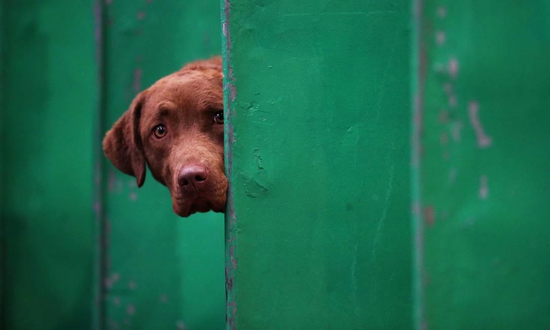 Chesapeake bay retriever, durante primeiro dia do Crufts Dog Show Foto: Hannah McKay / REUTERS