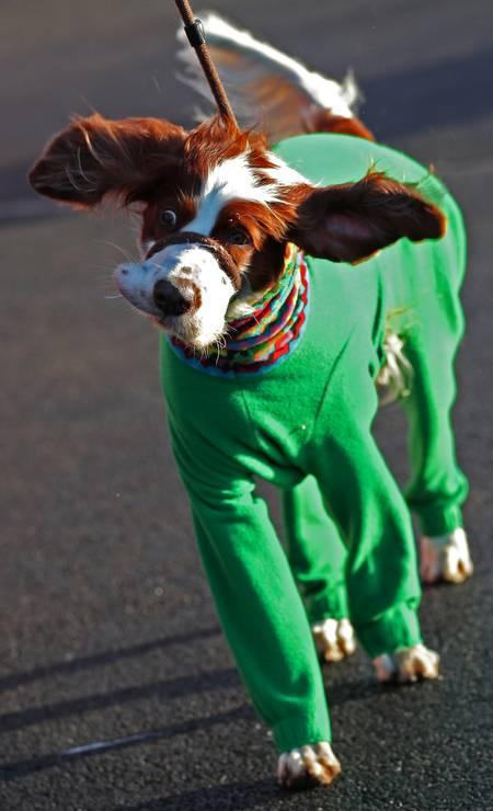 Setter irlandês vermelho e branco chega para o Crufts Dog Show, no primeiro dia do evento Foto: Hannah McKay / REUTERS