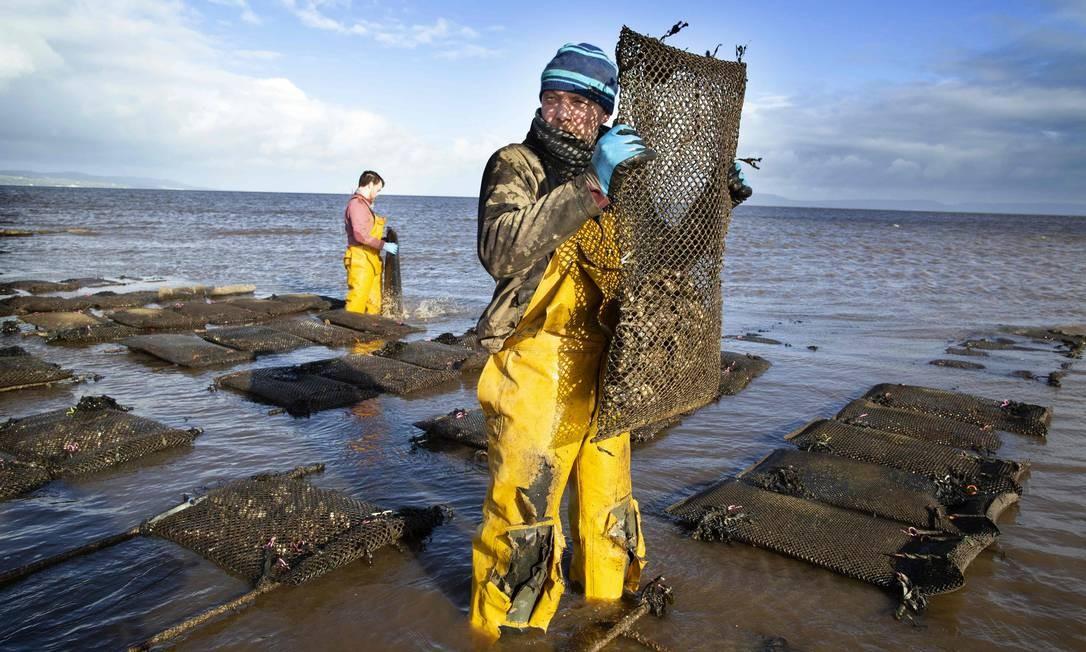 Agricultores cuidam das ostras em uma fazenda em Lough Foyle, no condado de Donegal, Irlanda Foto: PAUL FAITH / AFP