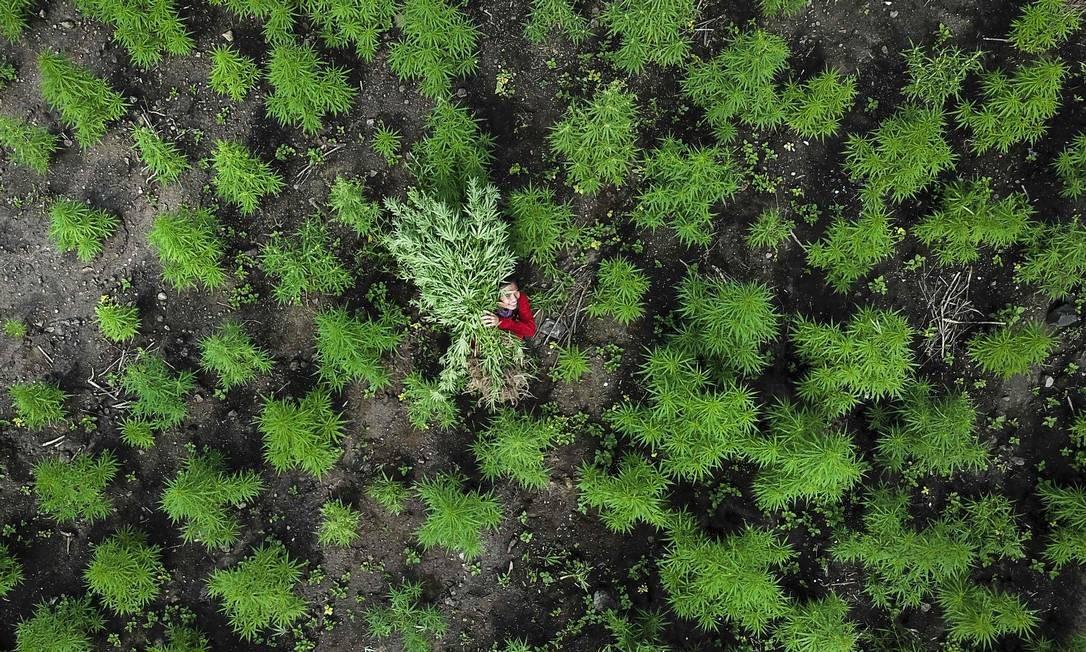 Nesta foto aérea feita de um drone, um homem carrega plantas de maconha durante uma incursão policial em dez hectares de plantação de maconha em Montasik, na província de Achém, na Indonésia Foto: CHAIDEER MAHYUDDIN / AFP
