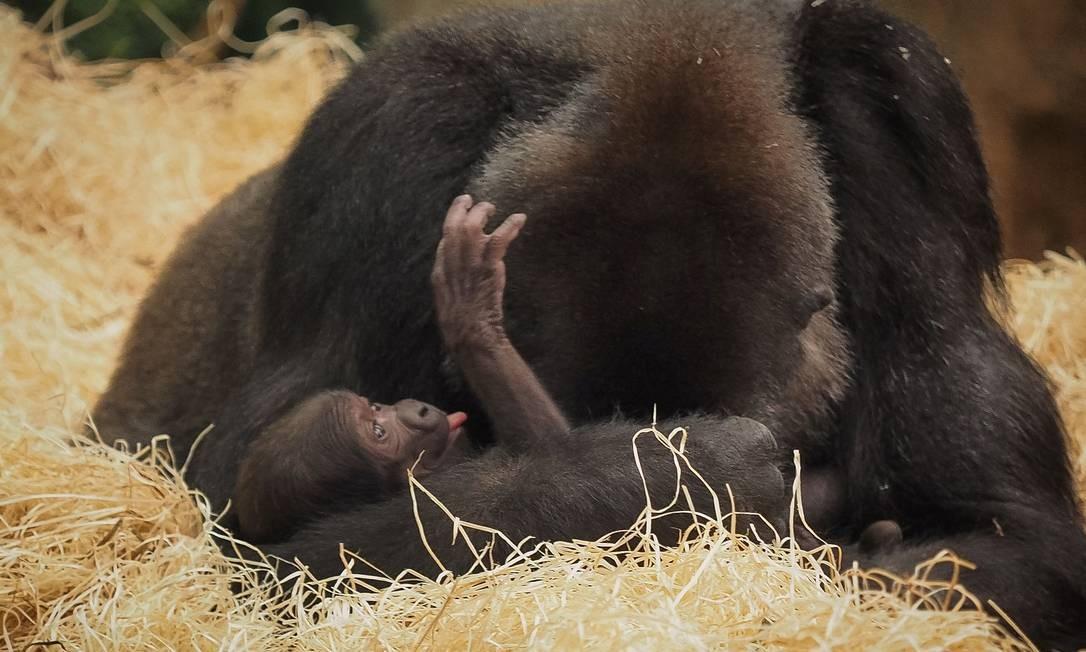 Uma gorila brinca com seu filhote recém-nascido em um zoológico na França Foto: GUILLAUME SOUVANT / AFP