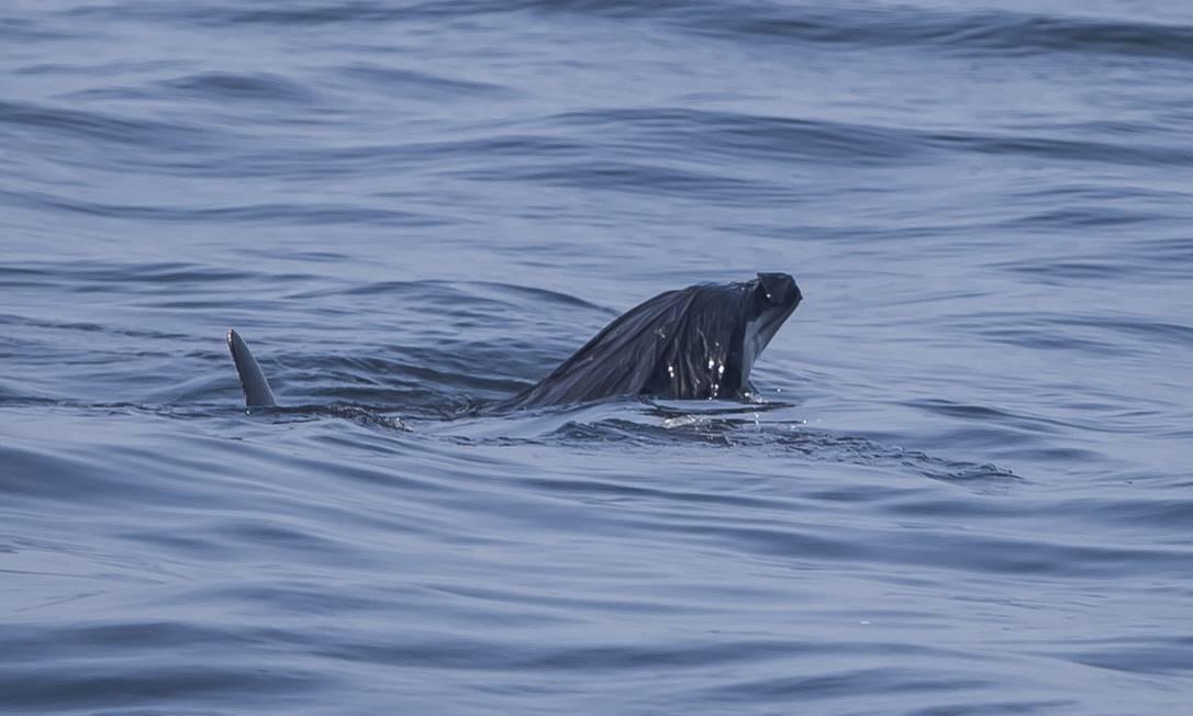 Golfinho, fotografado em junho de 2017, na Baía de Guanabara, luta para se livrar de uma sacola plástica que fechava seu orifício respiratório. Cerca de 10 milhões de toneladas de plástico são despejadas por ano nos oceanos. Estimativa é de que a produção de plástico dobre até 2030 Foto: BIA HETZEL / Divulgação