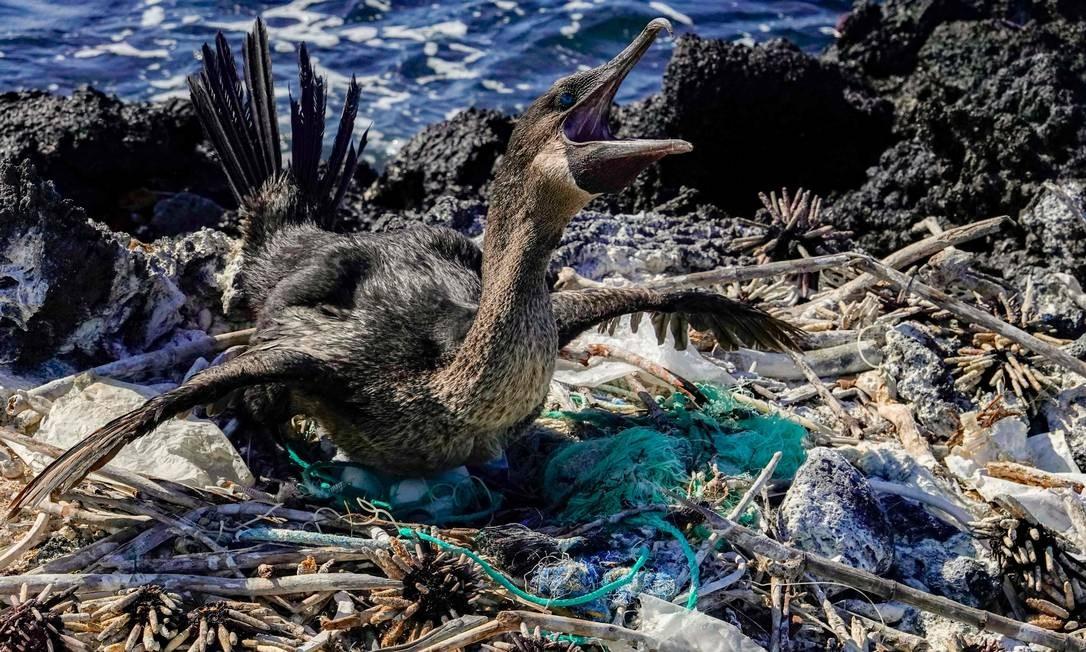 Um cormorão voador tem seu ninho cercado por lixo na costa da Ilha Isabela, no arquipélago de Galápagos, no Oceano Pacífico, a 1000 km da costa do Equador Foto: RODRIGO BUENDIA / AFP