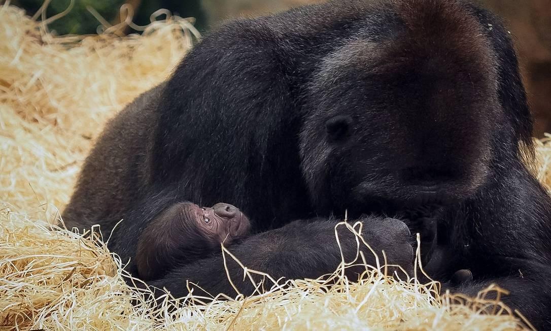 O ZooParc de Beauval, em Saint-Aignan, é conhecido por seus grandes mamíferos. Como a gorila Kabinda, que recentemente se tornou mãe Foto: GUILLAUME SOUVANT / AFP