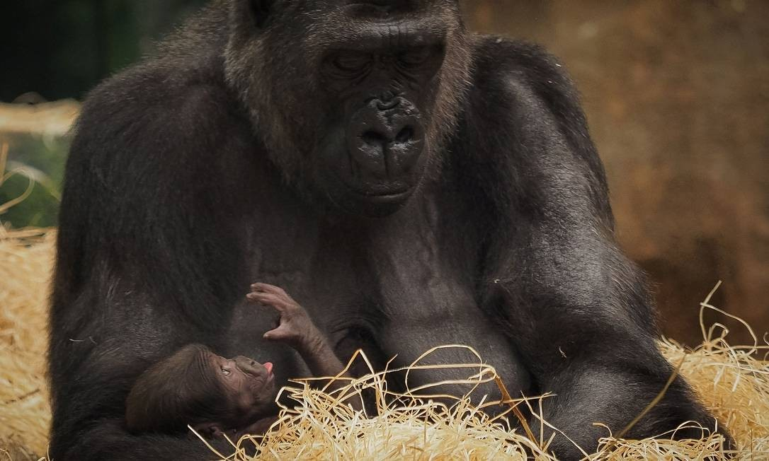 O bebê gorila é uma das novas atrações do zoológico. Uma dessas imagens que não se vê do alto de um teleférico Foto: GUILLAUME SOUVANT / AFP