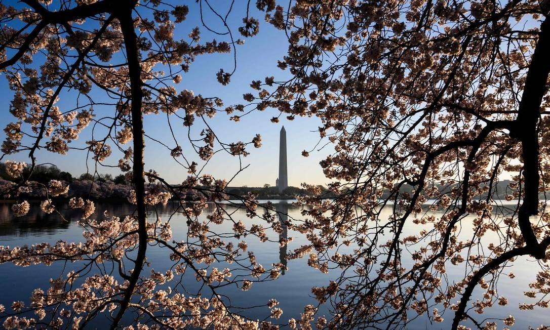 O Monumento a Washington é visto através de flores de cerejeira enquanto o sol nasce na bacia das marés, em Washington Foto: ANDREW CABALLERO-REYNOLDS / AFP