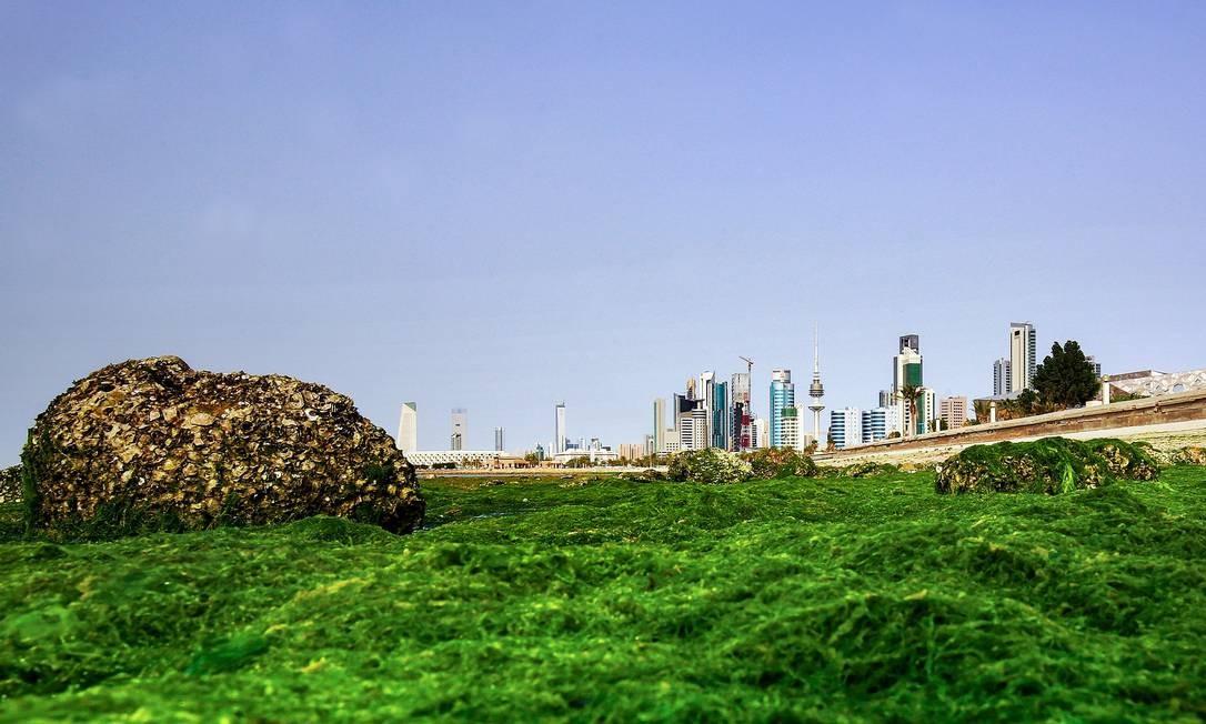 Algas marinhas ao longo de uma praia na costa da Cidade do Kuwait Foto: YASSER AL-ZAYYAT / AFP