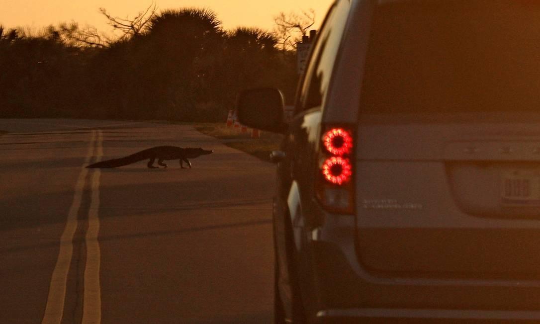 Um jacaré cruza uma estrada na Ilha Merritt ao pôr do sol perto do Centro Espacial Kennedy, na Flórida Foto: GREGG NEWTON / AFP